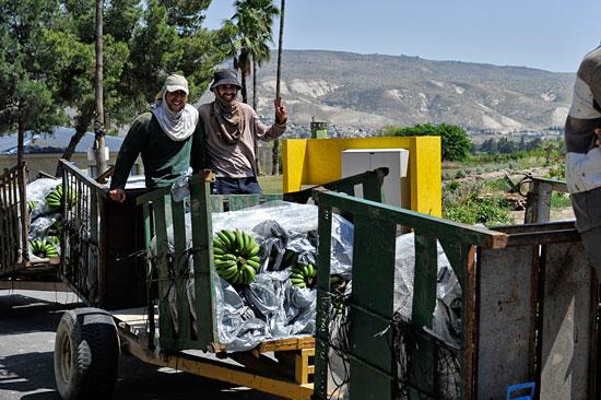 Erfolgreicher Ernteeinsatz: Mehrere Stauden Bananen können jetzt verkauft werden. (© Matthias Hinrichsen)