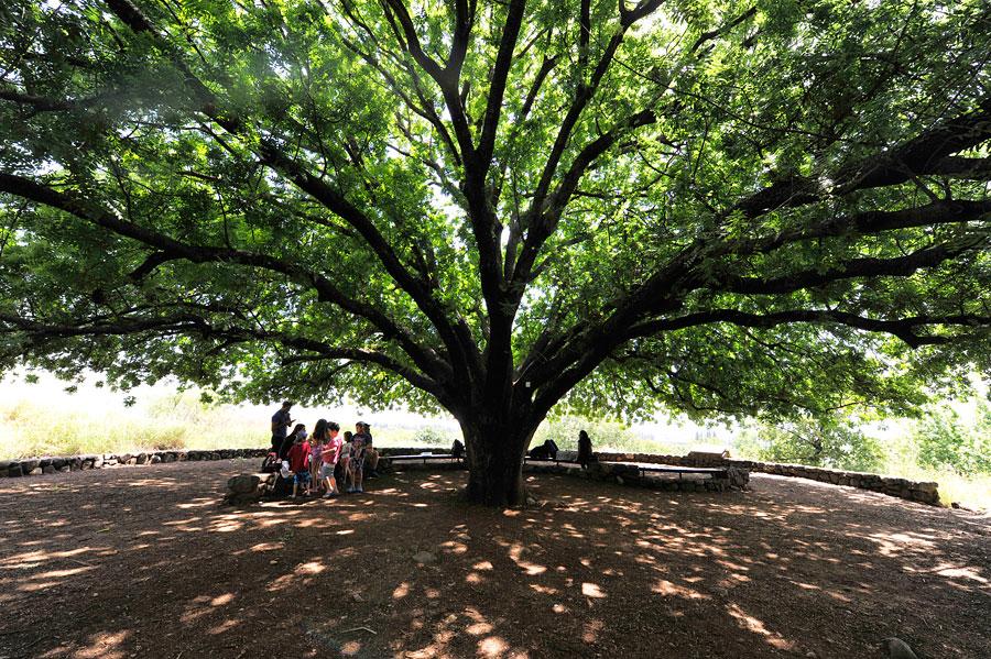 Ein riesiger Pistazienbaum im Tel Dan Naturreservat. (© Matthias Hinrichsen)