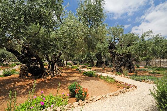 Garten Gethsemane: Die uralten Olivenbäume. (© Matthias Hinrichsen)