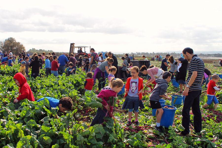 Gemeinsam macht es richtig Spaß, und wenn dann am Ende die eingesammelten Massen an Lebensmitteln für bedürftige Menschen sichtbar sind, erfüllt es die Teilnehmer mit Freude. (© Leket Israel)