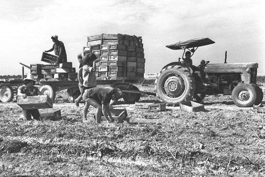 Ernte 1964 auf den Feldern des Kibbutz Revivim. (© David Eldan/GPO)