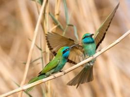 Die farbenprächtigen Smaragdspinte sind im Süden Israels allerorten anzutreffen. (© Thomas Krumenacker)