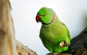 Grüne Papageien kehren zum Yarkon bei Tel Aviv zurück. (© Ruben Bensimon)