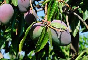 Die Mangos aus Israel sind reif! (© Matthias Hinrichsen)
