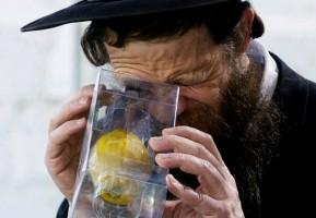 Ein orthodoxer Jude untersucht einen Etrog auf einwandfreien Wuchs. (© GPO)
