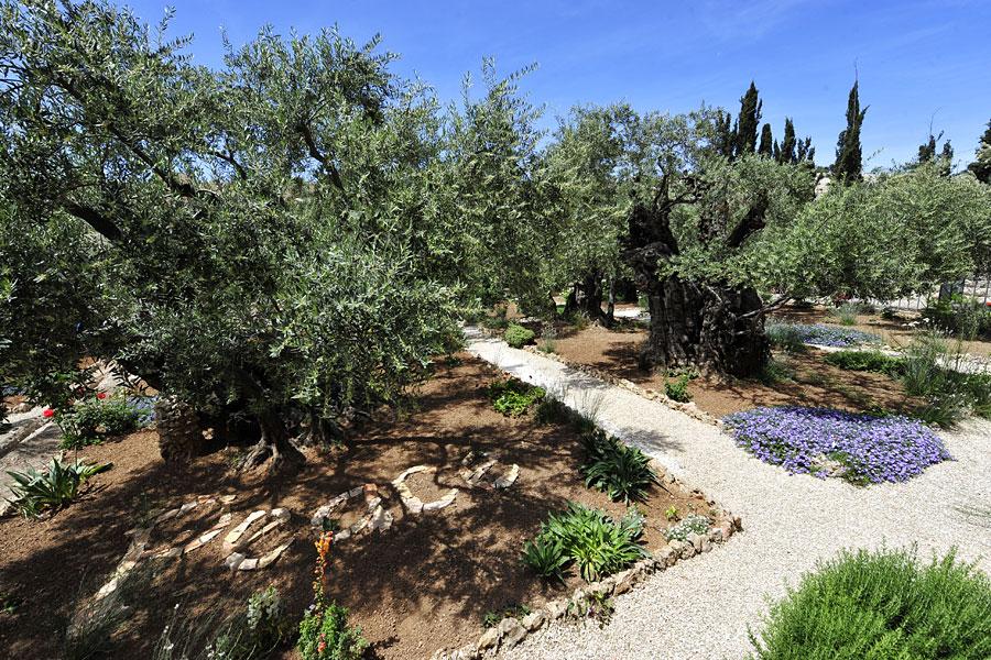 Der Garten Gethsemane am Fuße des Ölbergs in Jerusalem. (© IsraelMagazin)