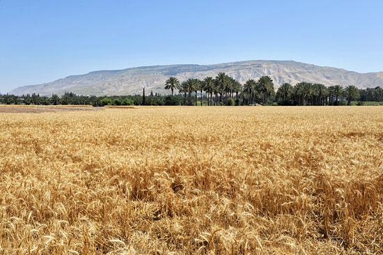 Mehrere Hektar Land werden vom Kibbutz bewirtschaftet, auch mit Getreide. (© Matthias Hinrichsen)