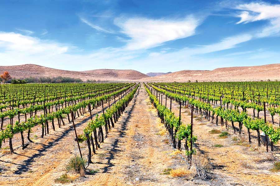 Weinplantage in Israel