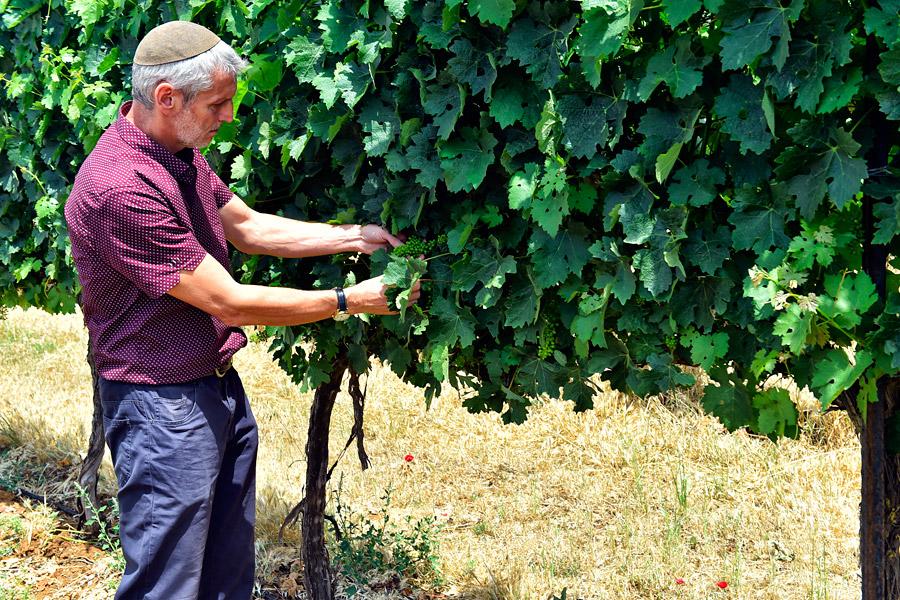 Reuven Pfeiruck prüft das Wachstum der Trauben. (© Matthias Hinrichsen)
