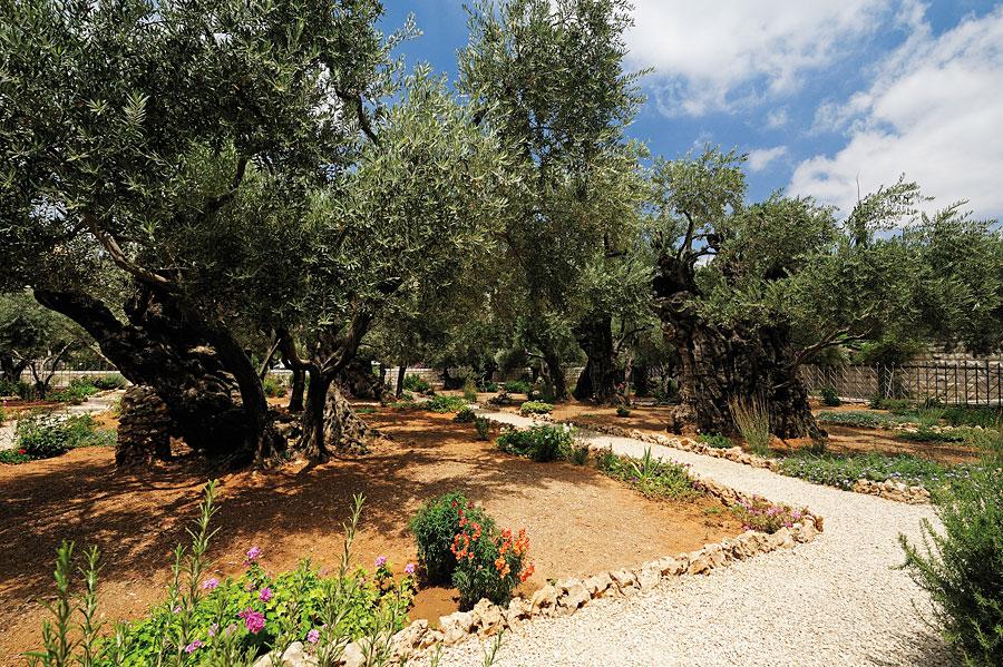 Garten Gethsemane auf dem Ölberg in Jerusalem