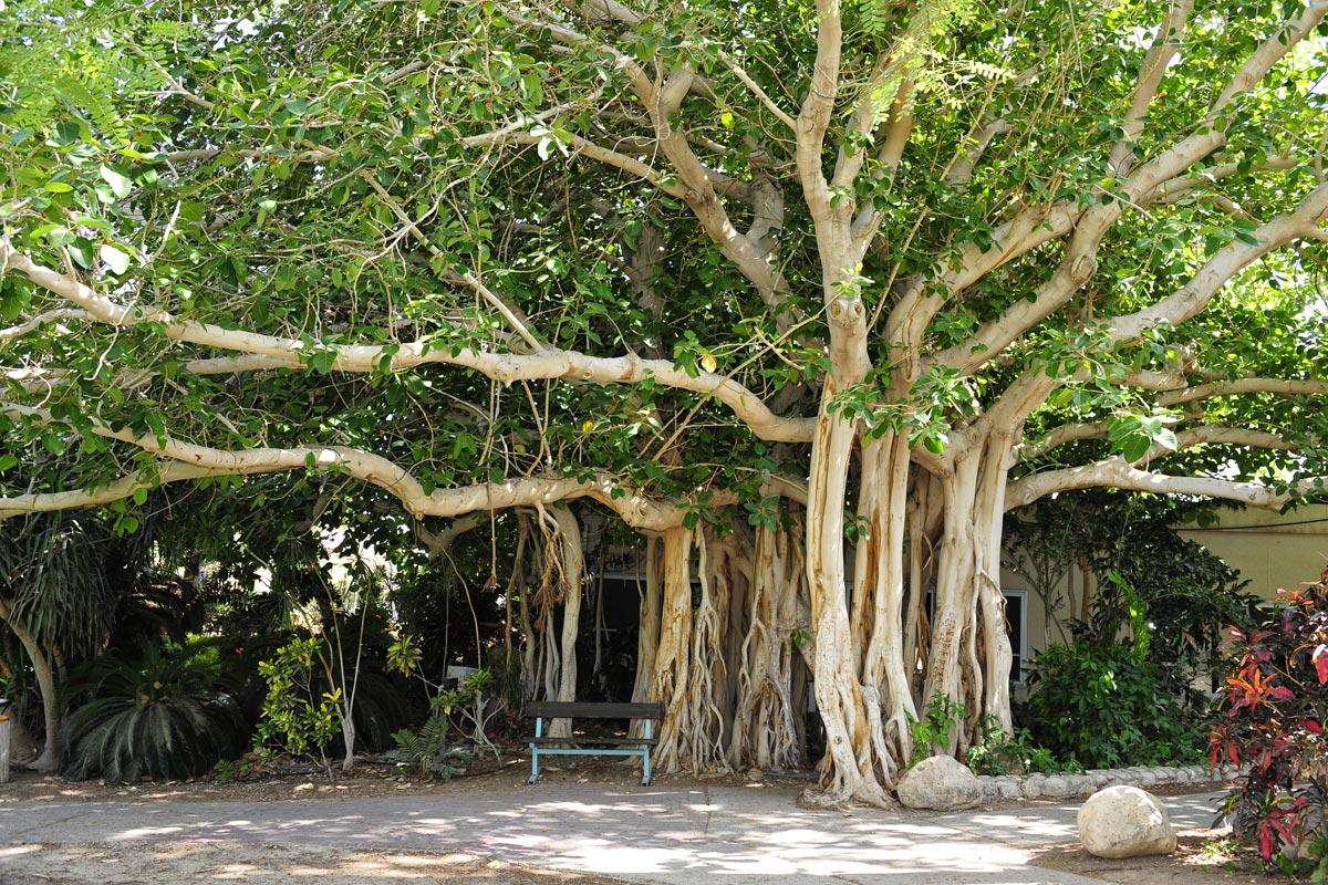 Im Kibbutz En Gedi steht dieser riesige Ficus.