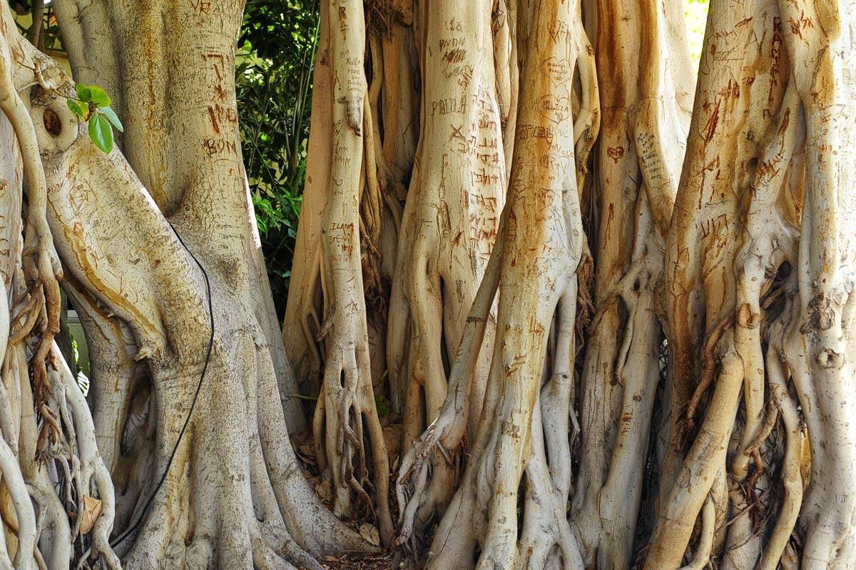 Kibbutz En Gedi Ficus